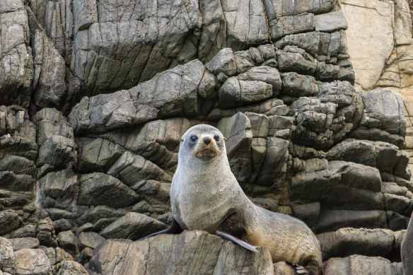 a closer up of the fur seal on the left in the above image