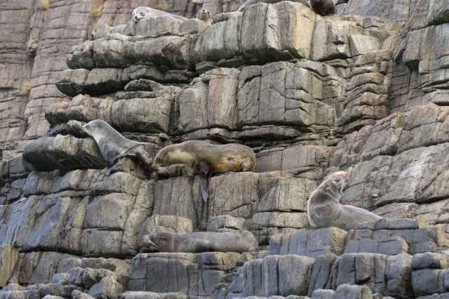 another half-dozen fur seals on the rock of The Friars off Bruny Island