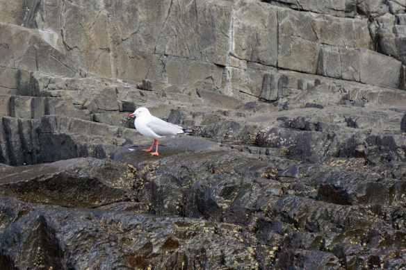 sea gull on rock ledge