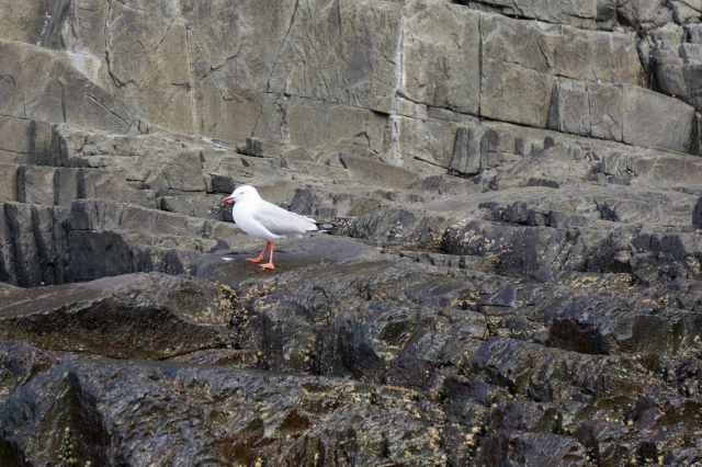 sea gull on rock ledge
