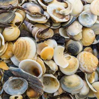 shells on a Tassie beach