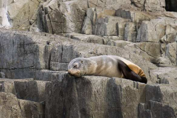 solitary fur seal on a Friars rock ledge