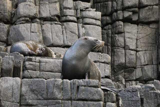 two more fur seals on the rock ledges of the Friars