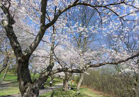 blue sky, green grass, and white blossoms