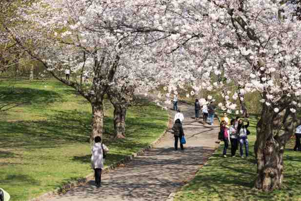 cherry blossoms over a High park path way