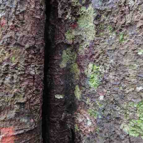 Knuckles Range cloud forest tree bark