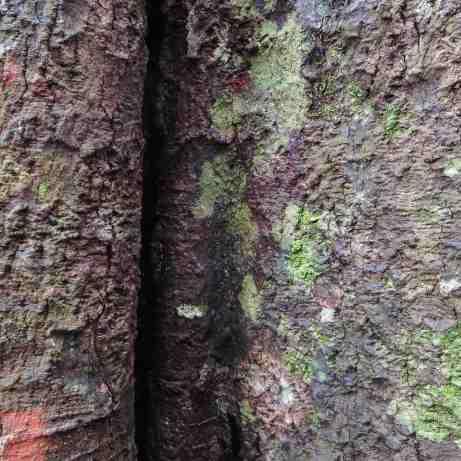 Knuckles Range cloud forest tree bark