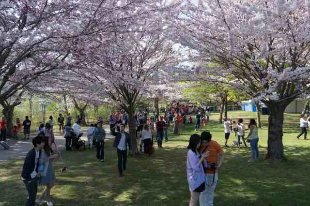 getting pix of the blossoms with everything from selfie sticks to tripods