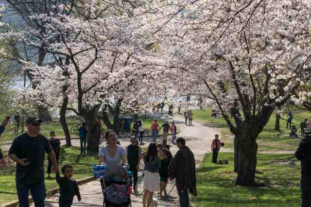 High Park path way at cherry blossom time