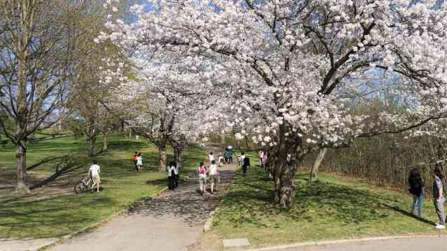 High Park path way - cherry blossom tree in bloom