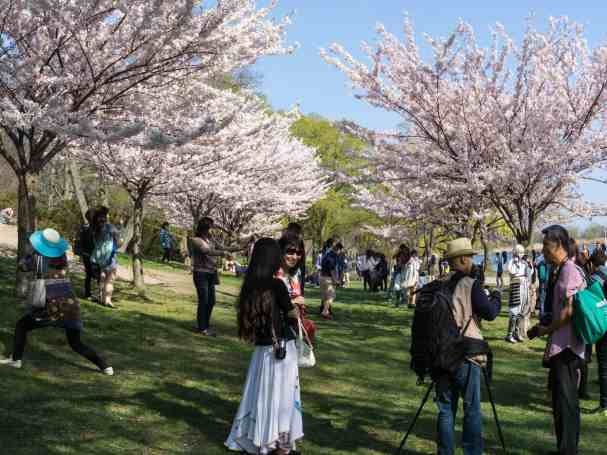 High Park visitors under the cherry blossoms