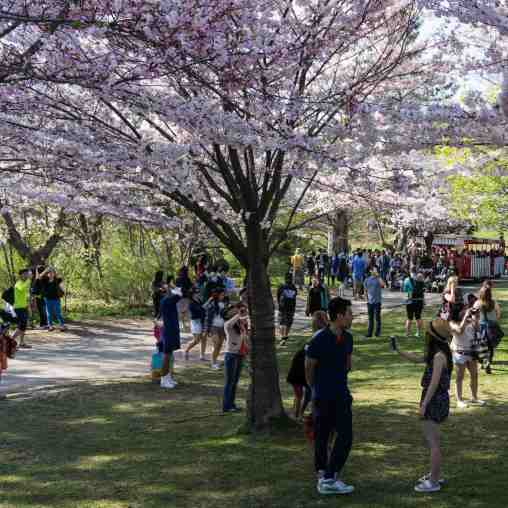 it's a party! - cherry blossom time at High Park!