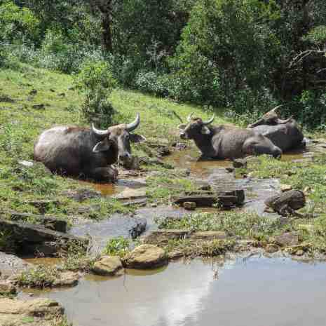 water buffalo chillin' in a plateau top stream