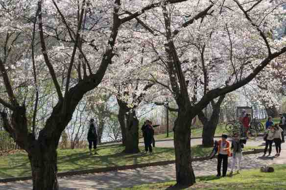 photo op in High Park - cherry blossom time
