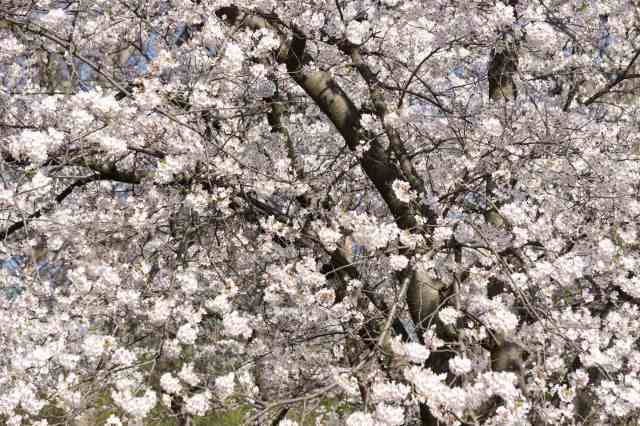Toronto's High Park - cherry blossoms in bloom