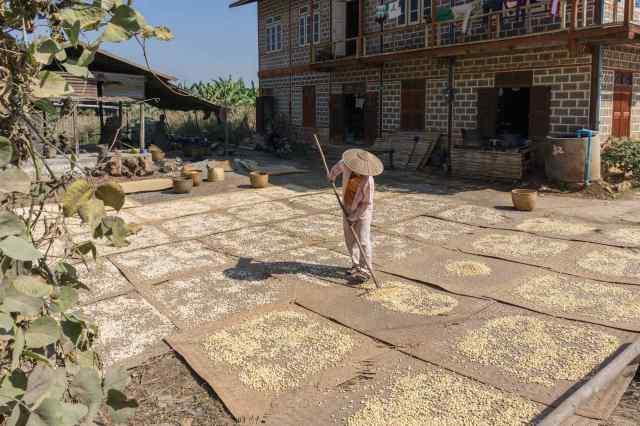 Khaung Daing - beans drying on mats in the sun