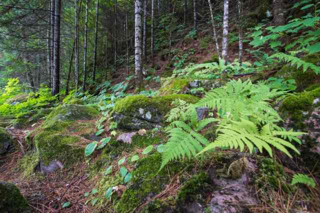 boreal forest floor - along the portage trail at Les Rapides Enrages