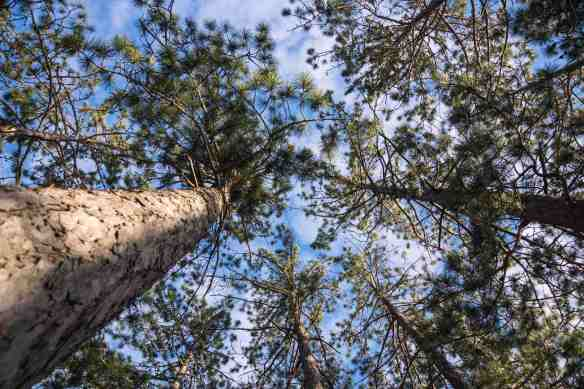 looking up some old pines at our tent site