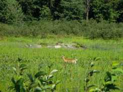 deer-on-the-quebec-side-of-the-river