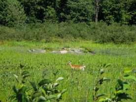 deer-on-the-quebec-side-of-the-river