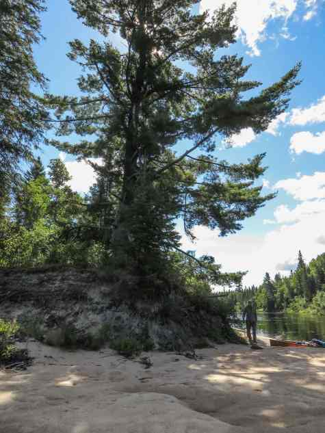 the-massive-white-pine-on-the-coulonge
