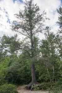 chute-a-lours-pine