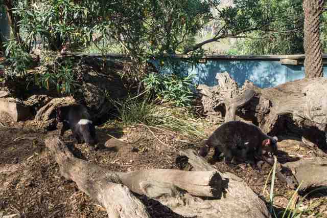 a couple of Tasmanian devils sniffing about their enclosure