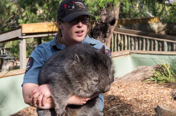 wombat in the arms of one of the guides at Bonorong