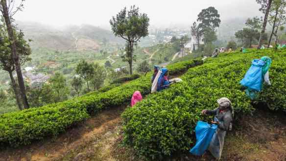 Tamil women picking tea leaves - Sri Lankan highlands