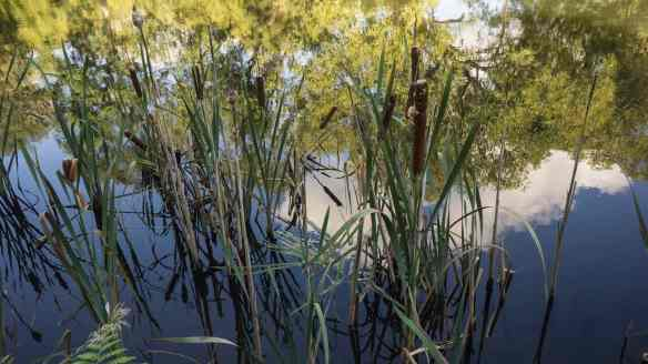 Meander River reeds and reflections