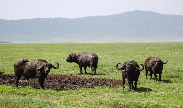 Ngorongoro African buffalo in the mud