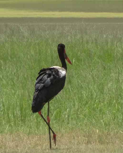 Ngorongoro Crater - saddle billed stork