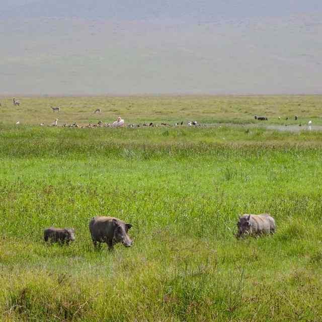Ngorongoro warthogs with zebra, gazelle and pelicans in the background