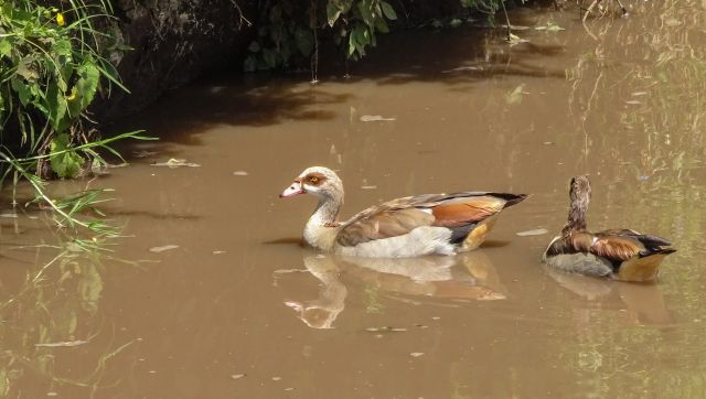 Ngorongoro waterhole - Egyptian goose?