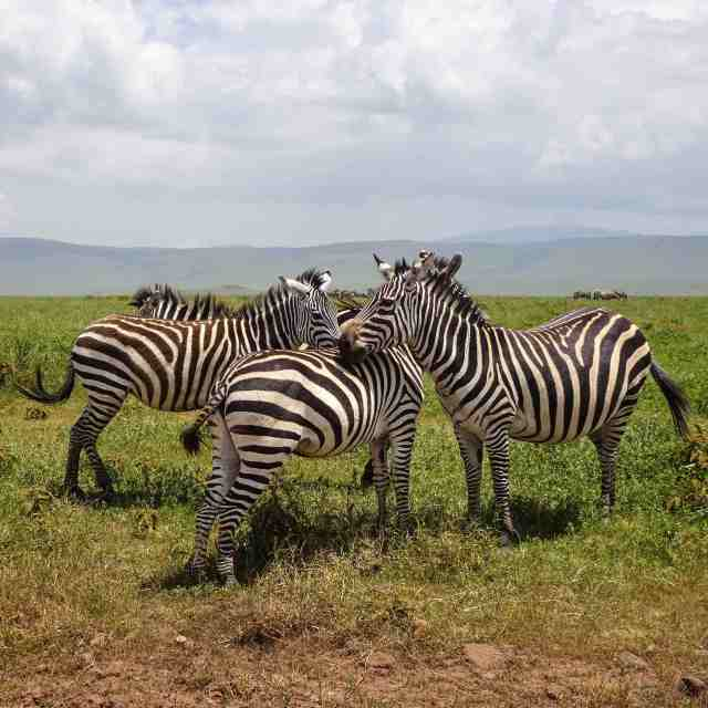 Ngorongoro zebras all bunched together