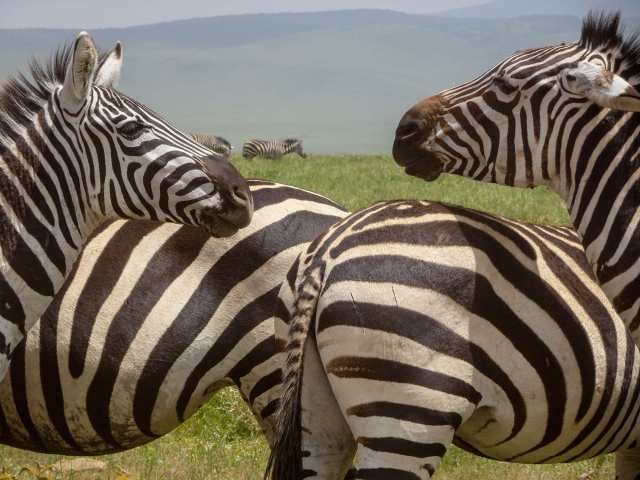 Ngorongoro zebras - heads