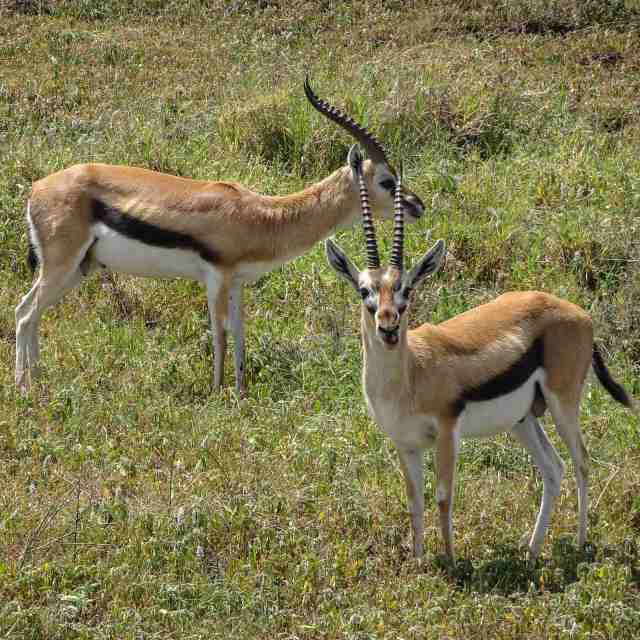 Thomson's gazelles in Ngorongoro Crater