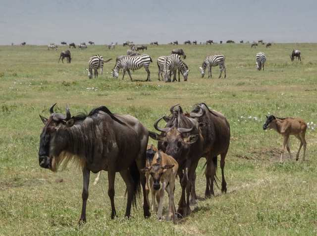wildebeest and zebras in Ngorongoro Crater