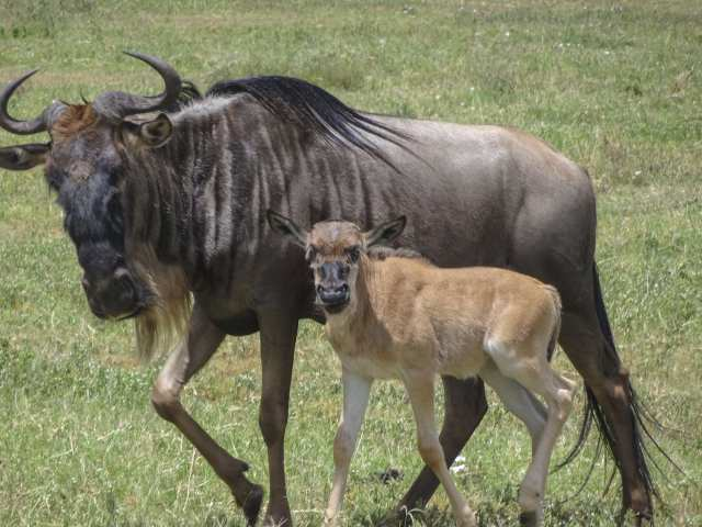 wildebeest female with young one