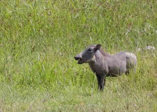 young warthog at Ngorongoro Crater