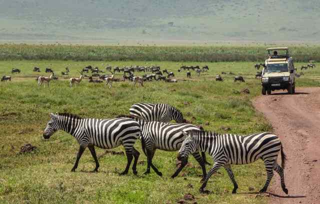 zebras, gazelles and wildebeest in Ngorongoro Crater